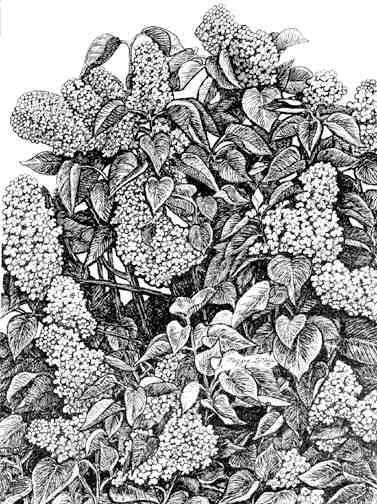 Lilacs giclee print - line art by Maggie LaNoue